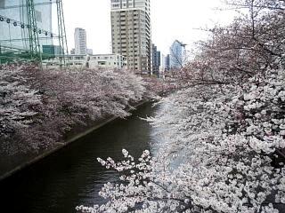 20150329目黒の桜(その46)