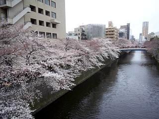 20150329目黒の桜(その47)