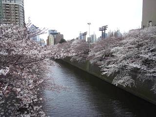 20150329目黒の桜(その48)
