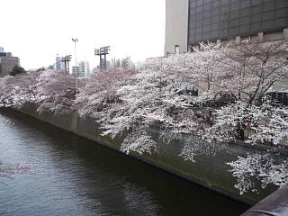 20150329目黒の桜(その49)