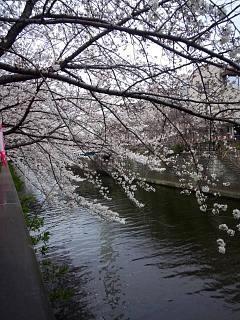 20150329目黒の桜(その51)