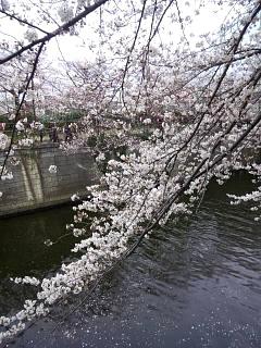 20150329目黒の桜(その52)