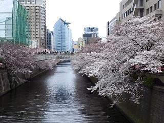 20150329目黒の桜(その54)