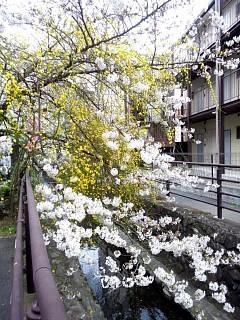 20150329目黒の桜(その61)