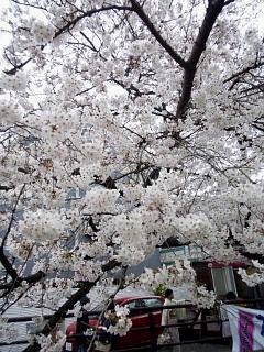 20150329目黒の桜(その63)