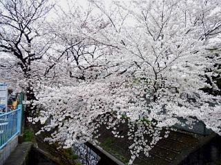 20150329目黒の桜(その65)