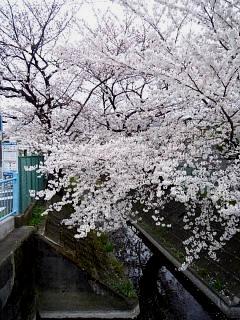 20150329目黒の桜(その66)