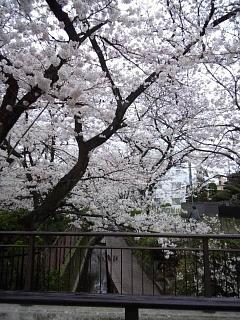 20150329目黒の桜(その68)