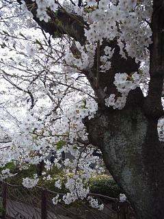 20150329目黒の桜(その69)