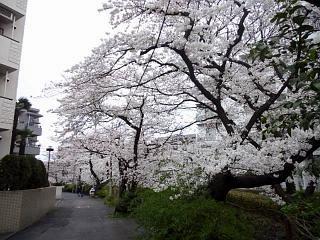 20150329目黒の桜(その71)