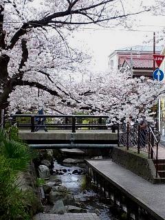 20150329目黒の桜(その75)