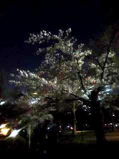 20130331夜桜