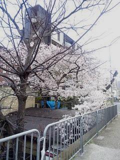 20150403弧線橋の桜(その1)
