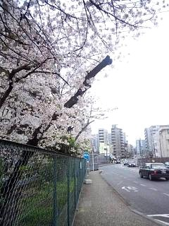 20150403弧線橋の桜(その2)