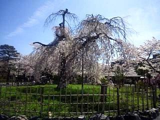 20150404嵐山桜(その1)