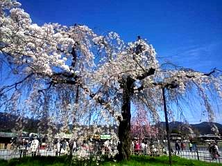 20150404嵐山桜(その2)