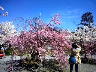 20150404嵐山桜(その3)