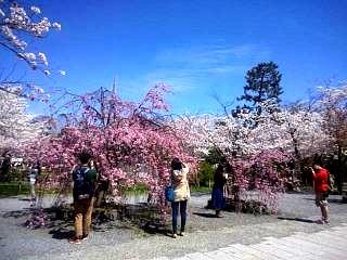 20150404嵐山桜(その4)