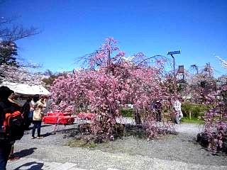 20150404嵐山桜(その5)