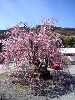 20150404嵐山桜(その14)