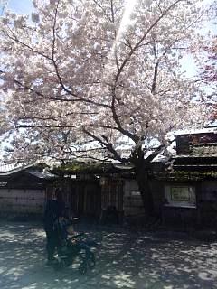 20150404嵐山桜(その15)