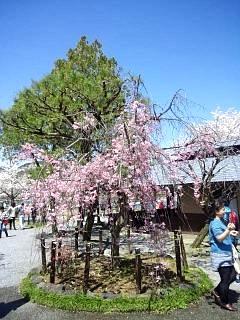 20150404嵐山桜(その43)