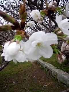 20150404仁和寺(その14)
