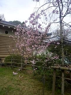 20150404平野神社(その1)