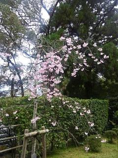 20150404平野神社(その2)