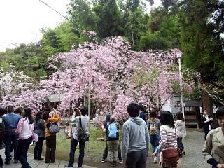 20150404平野神社(その22)