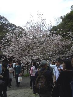 20150404平野神社(その24)