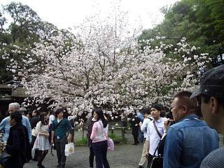 20150404平野神社(その25)