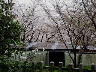 20150404平野神社(その32)