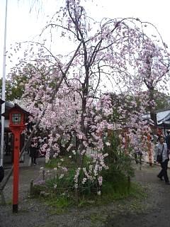 20150404平野神社(その43)