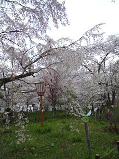 20150404平野神社(その46)