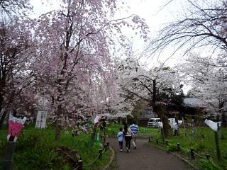20150404平野神社(その48)
