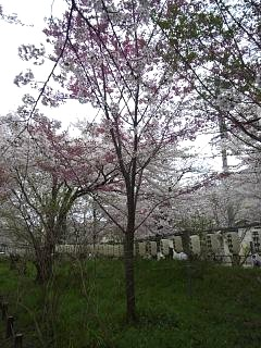 20150404平野神社(その49)