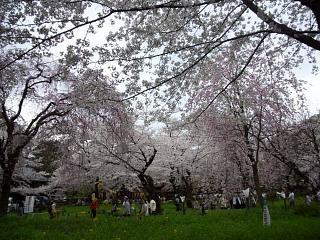 20150404平野神社(その50)