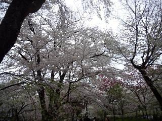 20150404平野神社(その51)