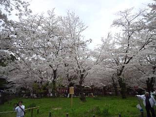 20150404平野神社(その52)
