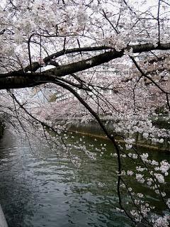 20150329目黒の桜(その18)