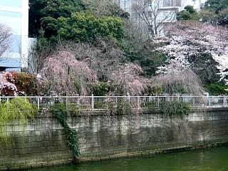 20150329目黒の桜(その21)