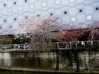 20150329目黒の桜(その22)