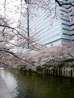20150329目黒の桜(その24)