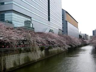 20150329目黒の桜(その25)