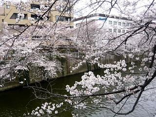 20150329目黒の桜(その28)