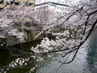 20150329目黒の桜(その29)