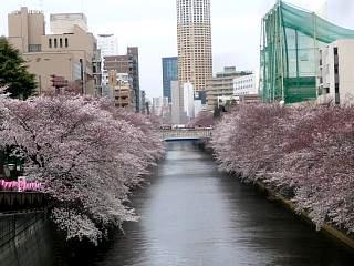 20150329目黒の桜(その30)