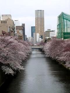 20150329目黒の桜(その31)