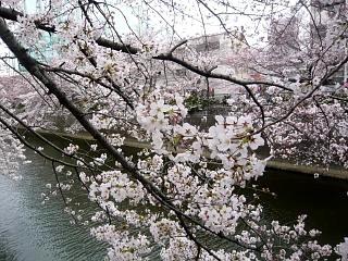 20150329目黒の桜(その32)